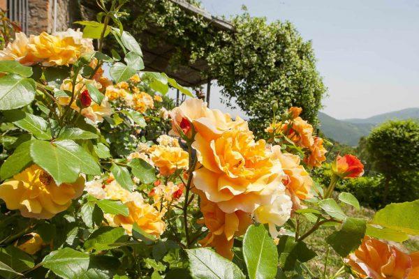 12-s574-beautiful-yellow-roses